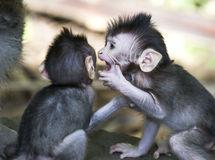 monkey-bali-16792167.jpg